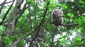 草の : Adult Barbary Monkeys in search of nutrition 動画素材