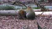 macaco : Barbary monkeys sleep on earth with the whole family