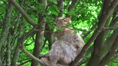 śmieszne : Barbary monkey eats salad on the tree Wideo