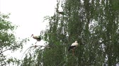 cigogne : Family of storks in the nests
