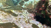 sea urchins and fish, corals at the bottom of the Mediterranean Sea Filmati Stock