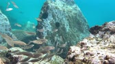 agulha : sea urchins and fish, corals at the bottom of the Mediterranean Sea Stock Footage