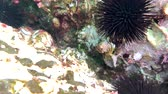 animais em estado selvagem : sea urchins and fish, corals at the bottom of the Mediterranean Sea Stock Footage