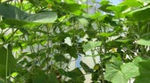 flower growing : cucumber sprouts blooming in a greenhouse