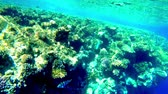 Pacific creole-fish swimming underwater in Red sea