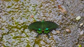 chupar : green phoenix butterfly in water