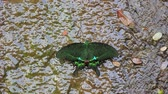 green phoenix butterfly in water