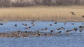 white fronted goose : Hundreds geese flying out from the lake. Huge flock of geese.