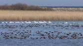 white fronted goose : Hundreds geese in the lake. Huge flock of White-fronted geese over the lake. Stock Footage