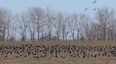 white fronted goose : Hundreds geese eating grass in the winter field. Stock Footage