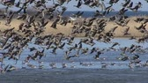 white fronted goose : Hundreds geese in the lake. Huge flock of White-fronted geese flying over the la