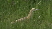 snatch : Heron Hunting in the Shallows. Stock Footage
