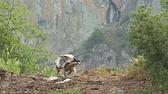 nature close up : Egyptian vulture eating carcass landed on a rock in high mountain