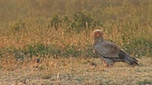 гриф : Egyptian vulture in sunrise morning eating carcass in high mountain