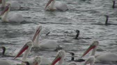 kerkini lake : Fishing pelicans in the lake
