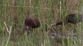 plegadis : Birds hunting frogs in the lake Stock Footage