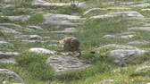songster : Bird eating a worm on a ground, Song Thrush Stock Footage