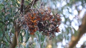 kelebekler : Cluster of Monarch Butterflies On a Tree On their Winter Migration at Santa Cruz, California