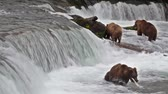 landscape : Footage of Grizzly Bear Catching Salmon at Brooks Falls, Alaska