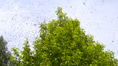 przeszczep : Swarming of the bees. Bees fly and sit on the apple tree.
