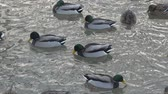 озера : ducks breed mallards swim in the lake, fighting for food.