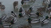 cold winter : ducks breed mallards swim in the lake, fighting for food.