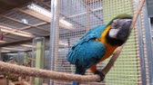 macaw parrot : A large tropical parrot that sits on a wall. Stock Footage