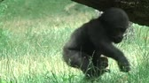 Gorillababy Stock Footage