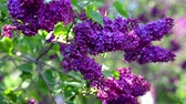 blossoming : Video blossoming lilacs spring nature background.