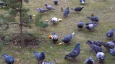 pomba : Flock of pigeons in the winter feeding bread in the yard