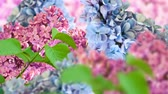 syringa : Amazing spring lilac on a flower postcard. Natural background with butterflies.
