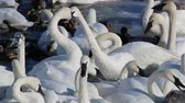 davranış : Trumpeter Swans on the Mississippi River in January