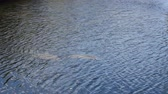 Two Manatees Seen from Above the Water. Two wild manatees seen from above swimming in breezy canal water about two miles from the ocean. Medium day view from above of a pair of wild manatees swimming. Stock Footage