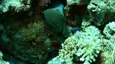 muraenidae : Giant moray (Gymnothorax javanicus) in the Red Sea, Egypt. Stock Footage