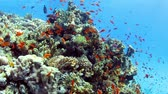natural : Tropical coral reef and small fishes in the Red Sea. Stock Footage