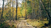 landscape of autumn forest with falling leaves, forest road Dostupné videozáznamy
