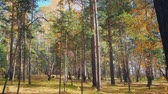клен : autumn forest landscape with falling leaves.