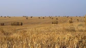 caution : Huge amount of hay harvested in bales on an agricultural field Panoramic view 4K