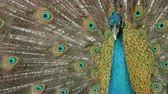 vzor : Peacock displaying his colorful feathered tail. Dostupné videozáznamy