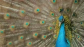 tavuskuşu : Peacock displaying his colorful feathered tail. Stok Video