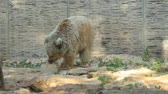 pençe : White bear eating ice in the zoo