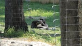 macaco : Two Chimpanzees  in a safari in Israel