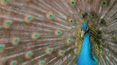 tavuskuşu : Peacock displaying his colorful feathered tail