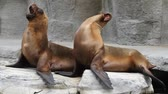 kaygan : Two fur seals play on the rock
