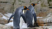 davranış : King penguins in the aquarium