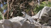 Mexican iguana wildlife
