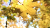sun ray : Falling maple leaf. Golden autumn.