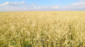 рожь : Endless wheat field. Beautiful landscape. Rich harvest.