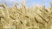 grain growing : Ripe wheat ears close-up. Stock Footage