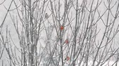 Bullfinches sitting on branches in a snowstorm. Wideo